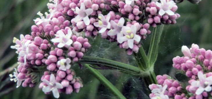 Waleriana – panaceum natury na Twój stres